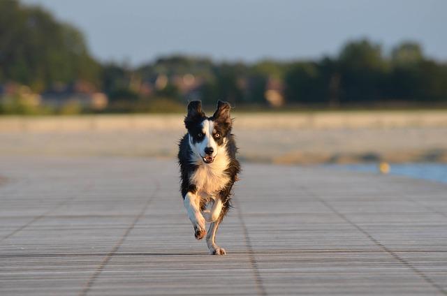 honden races Dublin